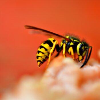wespen diervriendelijk verjagen